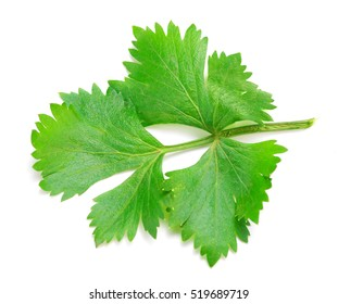 Celery or parsley leaf isolated on white background.
