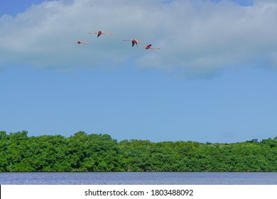 Celestun, Yucatan, Mexico: American flamingos - Phoenicopterus ruber -  flying overhead at the Celestun Biosphere Reserve.
