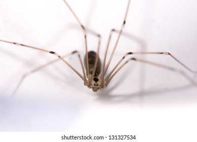 Cellar or daddy longlegs or skull spider (Pholcus phalangioides). Order: Araneae. Family: Pholcidae.