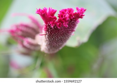 Celosia argentea belongs to Amaranthaceae family.It grows in warm weather.There are about 60 species of celosia, most garden varieties are members of the argentea and spicata species.