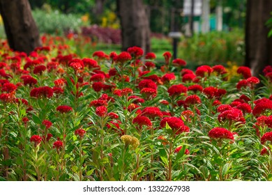 Celosia argentea is a biennial plant, stems erect, single red, red in nature.
