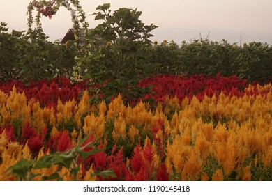 Celosia argentea (Crested Celosia, Cockscomb, plumed cockscomb or silver cock's comb,) ; The plumed cockscomb, tuff flowerheads is very bright yellow colors. often grown in gardens. natural sunlight.