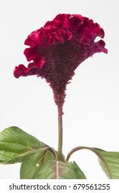 Celosia argentea Cristata Grp Turbo Scarlet