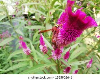 Celosia argentea flower with blurred background. Celosia argentea flower top view. Fresh tropical flower in garden.