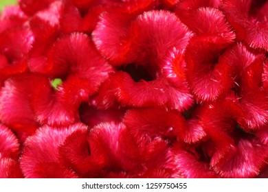 Celosia argentea is a flowering plant. Small, long-lasting, reddish streaks.