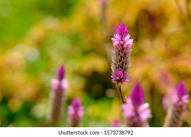 celosia argentea L. flower with dreamy background