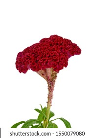 Celosia argentea L. isolated o white. Red, the heat of the flame. Celosia Spicata Deep Purple. Beautiful Red cockscomb flower isolated on white background