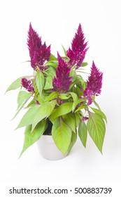 Celosia argentea (Plumosa Grp) Xclusive Purple