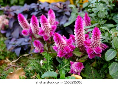 Celosia Argentea purple flowers, beautiful pink celosia flowers blooming in garden. Texture cockscomb for background or wallpaper.Celosia flower in bloom in Philly. A pink and white fox tail flower.