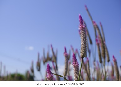 Celosia caracas – the cockscomb flower in nature against blue sky background