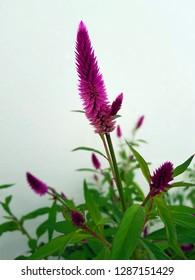 celosia, cockscomb flower, spring flowes, violet flower
