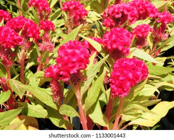Celosia cristata is commonly known as cockscomb. closeup beautiful red and pink flowers with green leaves in botanical garden.