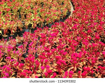 Celosia cristata is commonly known as cockscomb. beautiful red and pink flowers with green leaves in botanical garden in full frame.