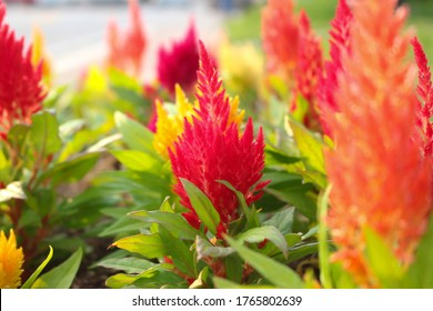A celosia cristata flower that blooms like a candle in a pointed shape.