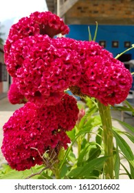 Celosia Celosia cristata, celosia which forms flower like coral, the color is various.