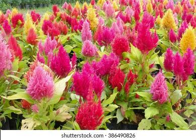 Celosia flower garden