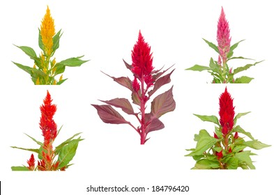 Celosia flower isolated on white background