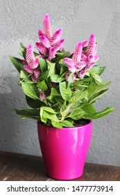 a celosia pink in pots