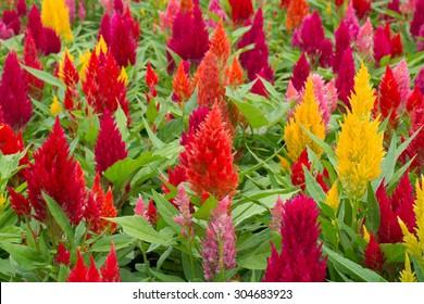 celosia plumosa flower