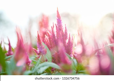Celosia plumosa flower , 'Pampas Plume Mixture' Prince of Wales' Feathers