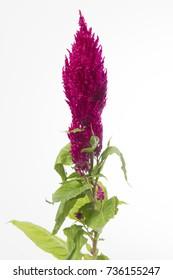 Celosia Plumosa Grp Century Purple Rose