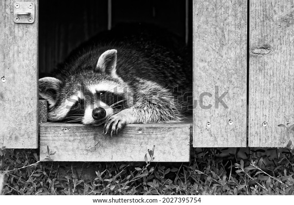 celsius-raccoon-no-motivation-600w-20273