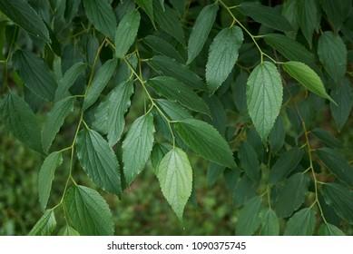 Celtis australis branches