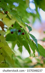 Celtis occidentalis, commonly known as the common hackberry, deciduous tree native to North America. Also known as the nettletree, sugarberry, beaverwood, northern hackberry, and American hackberry