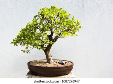 Celtis senensis. 26 year old bonsai