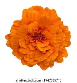 Cempasuchil flower isolated on white background. Orange mexican flower of cempasuchil