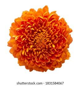 Cempasuchil orange flower on white background. Mexican flower - Shutterstock ID 1831584067