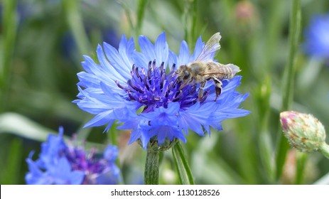 Centaurea cyanus, commonly known as cornflower or bachelor's button, is an annual flowering plant in the family Asteraceae.