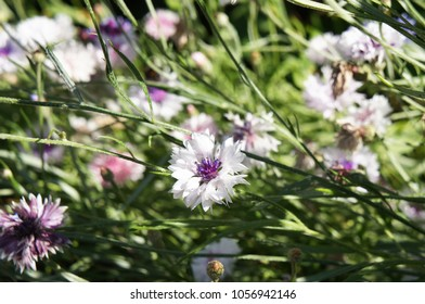 Centaurea cyanus or cornflower or bachelor's button white, red and purple flowers with green