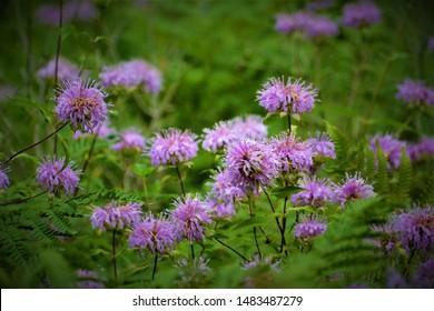 Centaurea is a genus of between 350 and 600 species of herbaceous thistle-like flowering plants in the family Asteraceae.