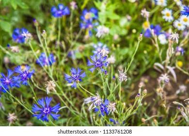 Centaurea growing in a field