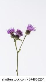 centaurea maculosa flowers