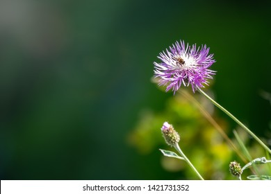 Centaurea montana mountain perennial cornflower in bloom. Purple mountain cornflower flower on a green background. Bee collects nectar on a flower for honey. Spring Colors. Copy space background.