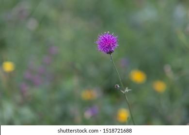 Centaurea scabiosa or greater knapweed.