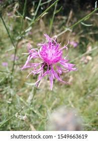 Centaurea scabiosa or greater knapweed