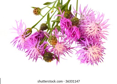 Centaurea scabiosa Greater Knapweed perennial plant isolated on white