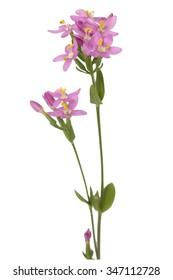 Centaury; Centaurium erythraea