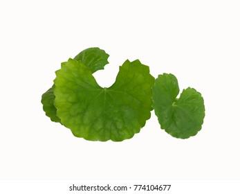 Centella asiatica, Asiatic Pennywort,(Centella asiatica (Linn.) Urban.) isolated on the white background. Thai herb, Thai food