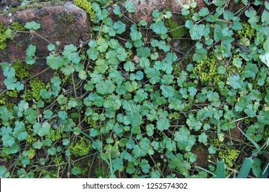 Centella asiatica, commonly known as centella, Asiatic pennywort or Gotu kola, is a herbaceous, frost-tender perennial plant in the flowering plant family Apiaceae. It is native to wetlands in Asia.