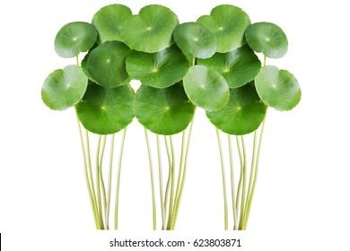 Centella asiatica, commonly known as centella and gotu kola, is a small, herbaceous, annual plant and is native to wetlands in Asia.