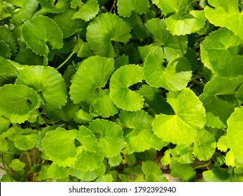 Centella asiatica, commonly known as Indian pennywort or Asiatic pennywort, is a herbaceous, perennial plant in the flowering plant family Apiaceae. It is native to the wetlands in Asia.