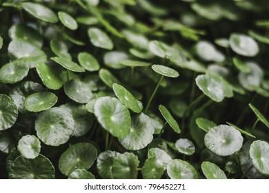 Centella asiatica. Green leaf. Gotu kola