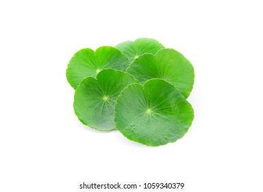 Centella asiatica isolated on white background.