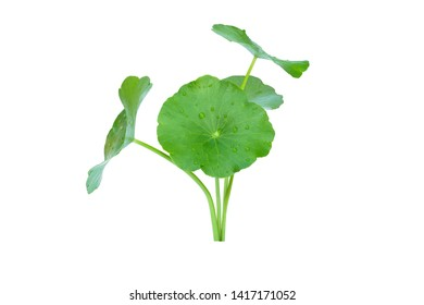 Centella asiatica isolated on white background.Orther name Goto Kola,Asiatic. With clipping path.