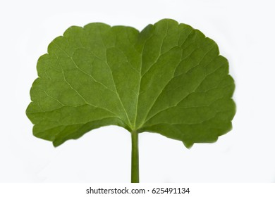 Centella asiatica leaf, Asiatic Pennywort, Urban on white background