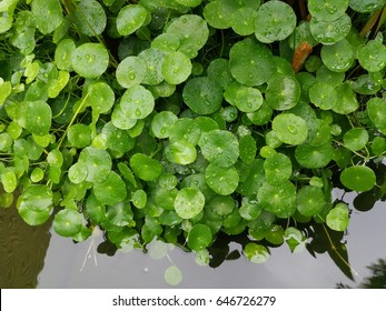 Centella asiatica. Centella leaves and Gingko biloba are used as Chinese herbal medicine ingredient or nutritious supplement for reduce fever blisters and cold sore.